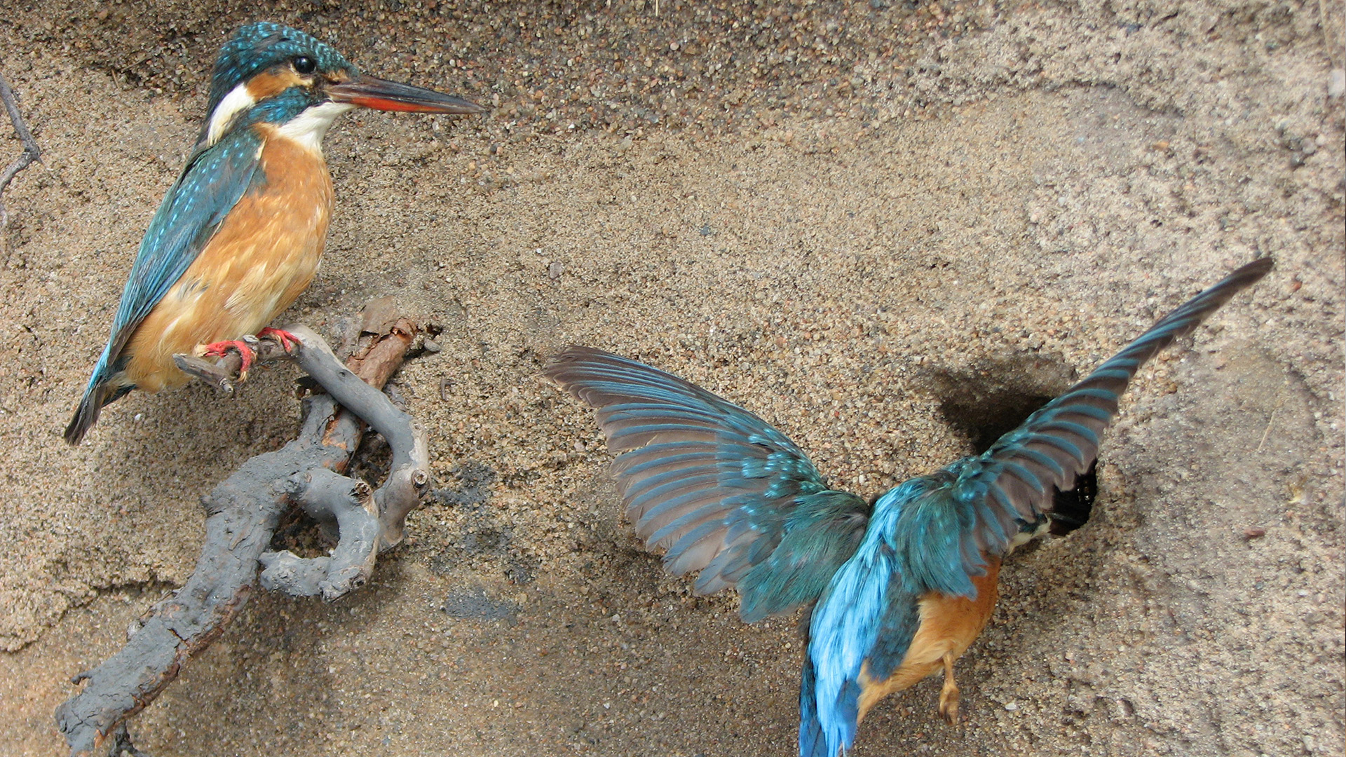 Pair of Common kingfishers at riverbank in Veikko Salkio´s Natural History Collection.
