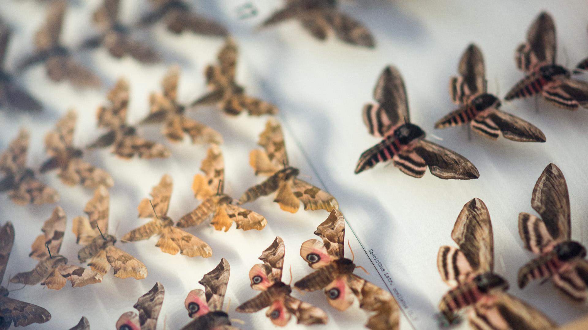 Sphinx moths in display box in Armas Järvelä's Lepidoptera Collection.