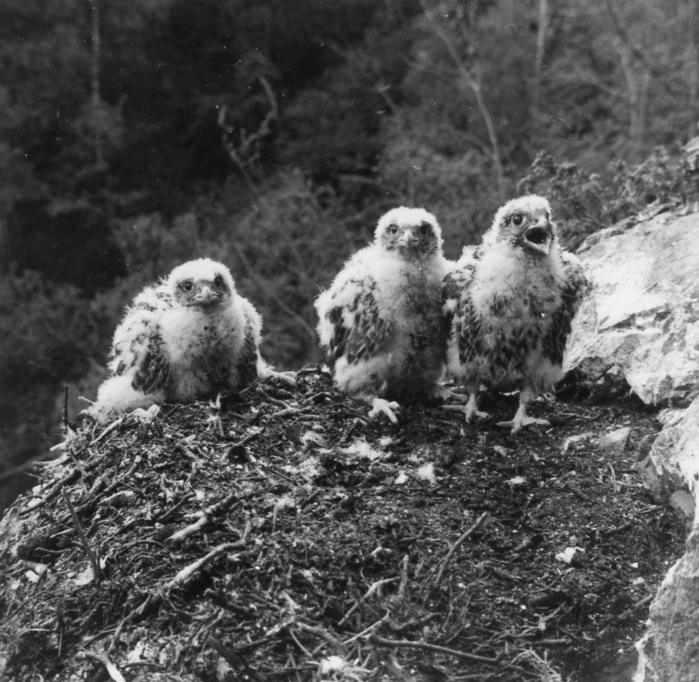 Kolme haukan poikasta pesässään kalliojyrkänteen reunalla.