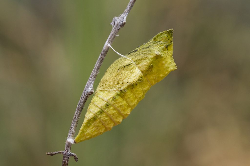 Perhosen muodonmuutos: kotelo