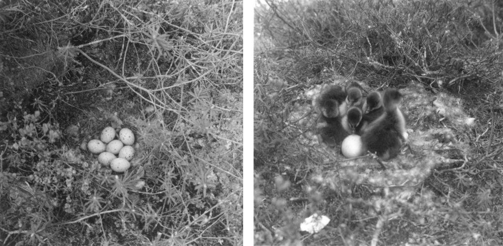 Metson pesäsyvennys varvikossa, pesässä seitsemän munaa. Metsähanhen pesäsyvennys suolla, pesässä viisi poikasta ja yksi muna.