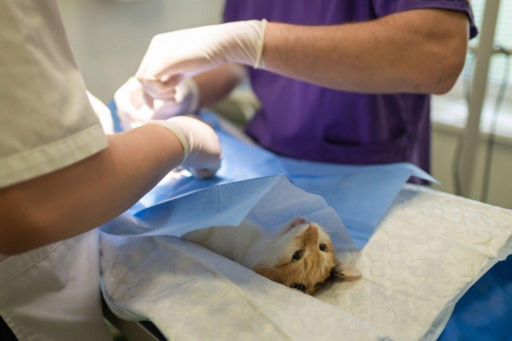 Kaksi eläinlääkäriä tekee kissalle operaatiota. Kissa on selällään leikkauspöydällä sinisen suojapaperin alla.