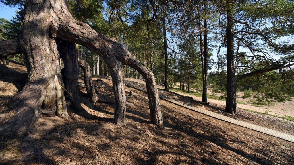 Laajalahden rinteikästä hiekkakangasmaastoa mäntyineen. Etualalla maasta kohonnut suuri mäntyjuurakko, jonka takana kulkee puusta rakennettu kävelytie.