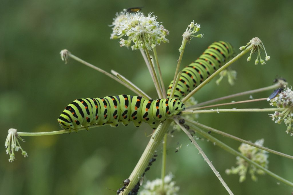Perhosen muodonmuutos: toukka