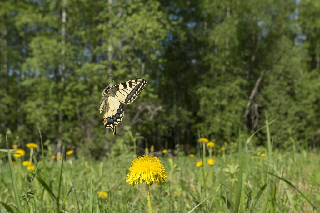 Perhosen muodonmuutos: aikuinen.
