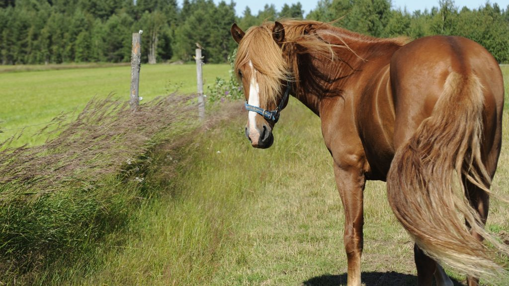 Ruskea, tuuheaharjainen suomenhevonen kesäisellä ja tuulisella pellolla. Hevonen seisoo paikoillaan ja on kääntänyt päänsä kameraa kohti. Hevosen vieressä kasvaa korkeaa heinää ja peltoaukean taustalla on tuuhea metsä.