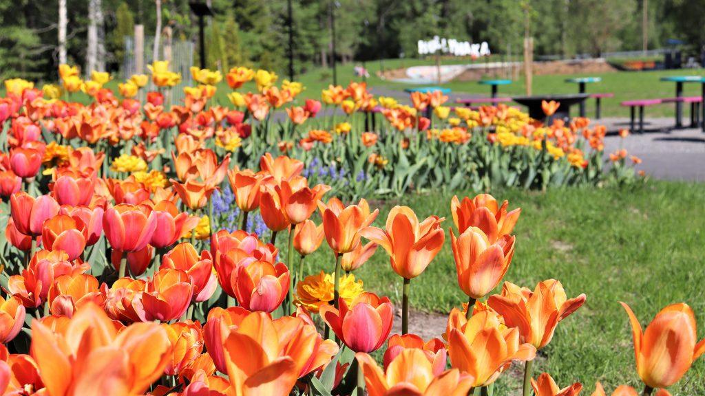 Brita Marian puistossa oleva värikäs tulppaanipenkki lähietäisyydeltä kuvattuna. Taustalla näkyy puiston grillipaikka pöytineen ja penkkeineen sekä kaukana horisontissa valkoinen Hollyhaka -kyltti.