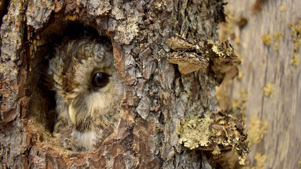 Lehtopöllö kurkistaa pesäkolostaan puupökkelöstä Veikko Salkion luontokokoelmassa.
