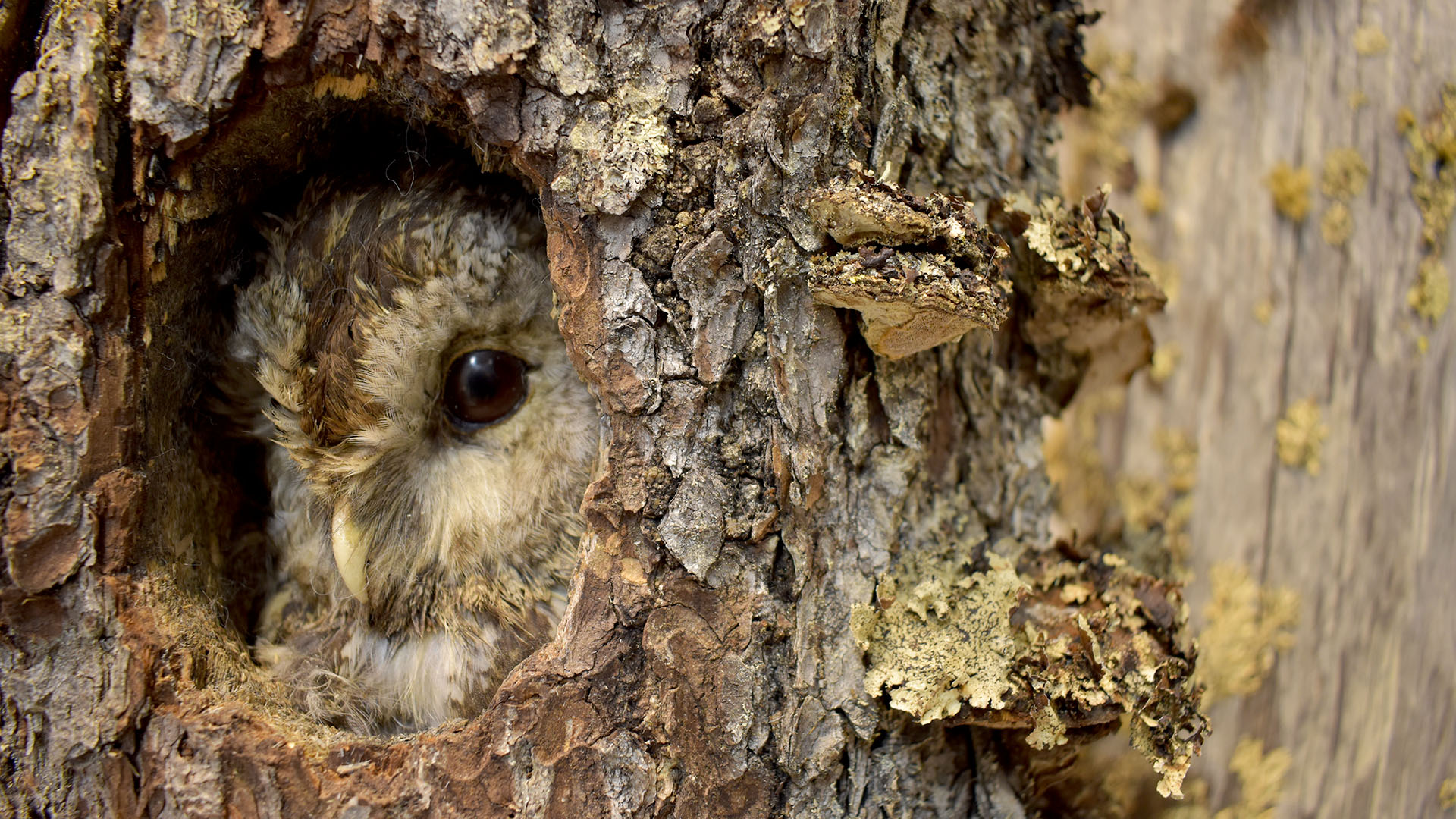 Tawny owl peeking from it´s tree hollow in Veikko Salkio´s Natural History Collection.