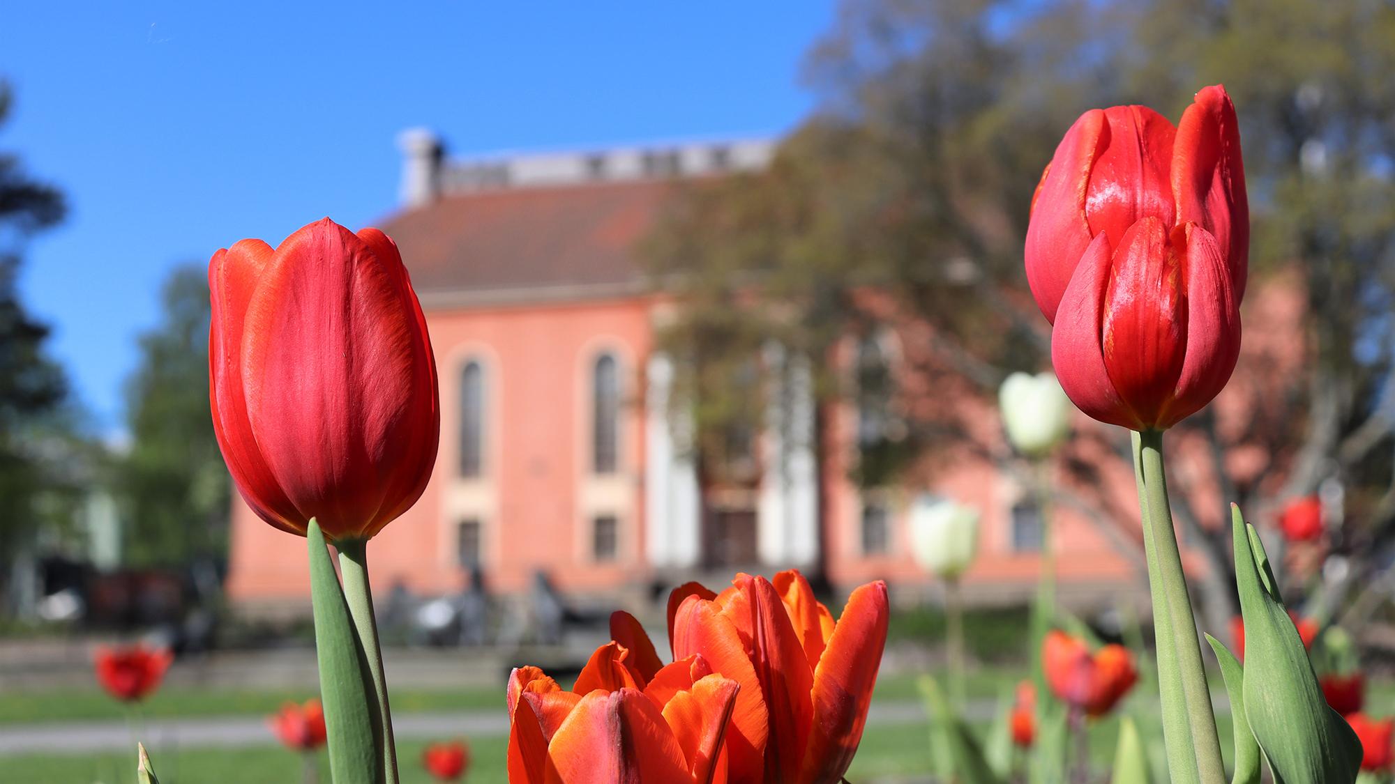 Punaisia tulppaaneja, joiden taustalla näkyy Vartiolinna.