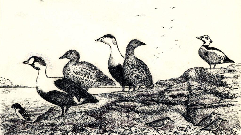 Useita vesilintulajeja seisoo kalliolla Jäämeren rannalla.