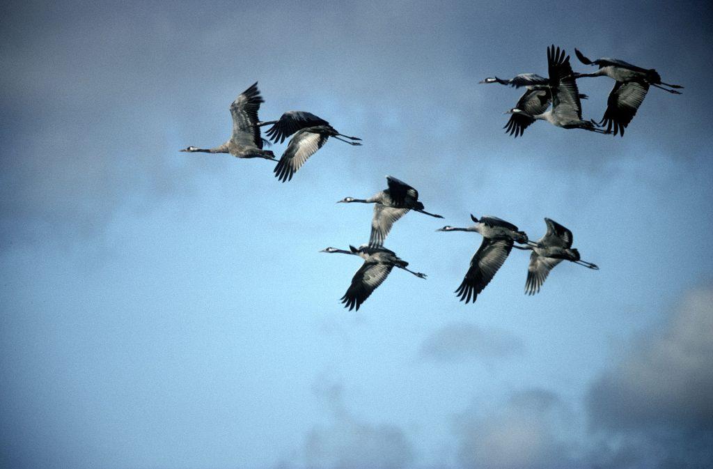 Kurjet lentävät pilvien seassa.