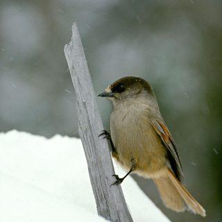 Kuukkeli-lintu talvisessa luonnossa.