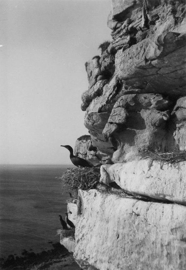 Merimetso pesällään jyrkän kallioseinämän kielekkeellä Jäämeren äärellä.
