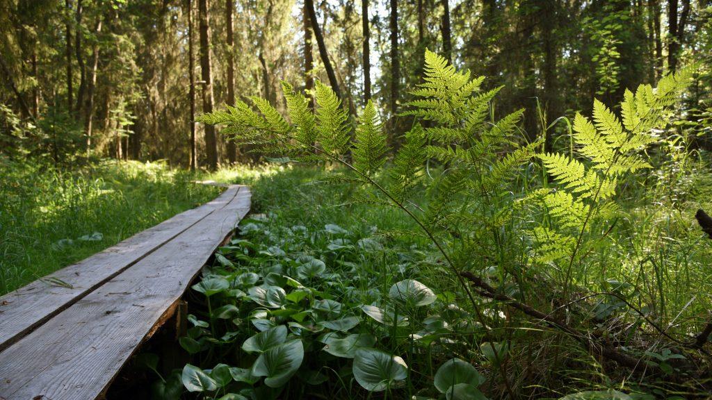 Laajalahden vehreän kasvillisuuden seassa kulkevat pitkospuut.