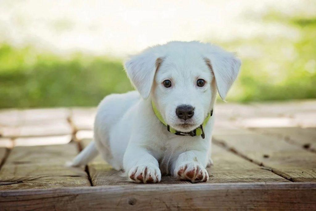 Pieni vaalea koiranpentu on ulkona makuulla puualustalla ja katsoo suoraan kohti kameraa.