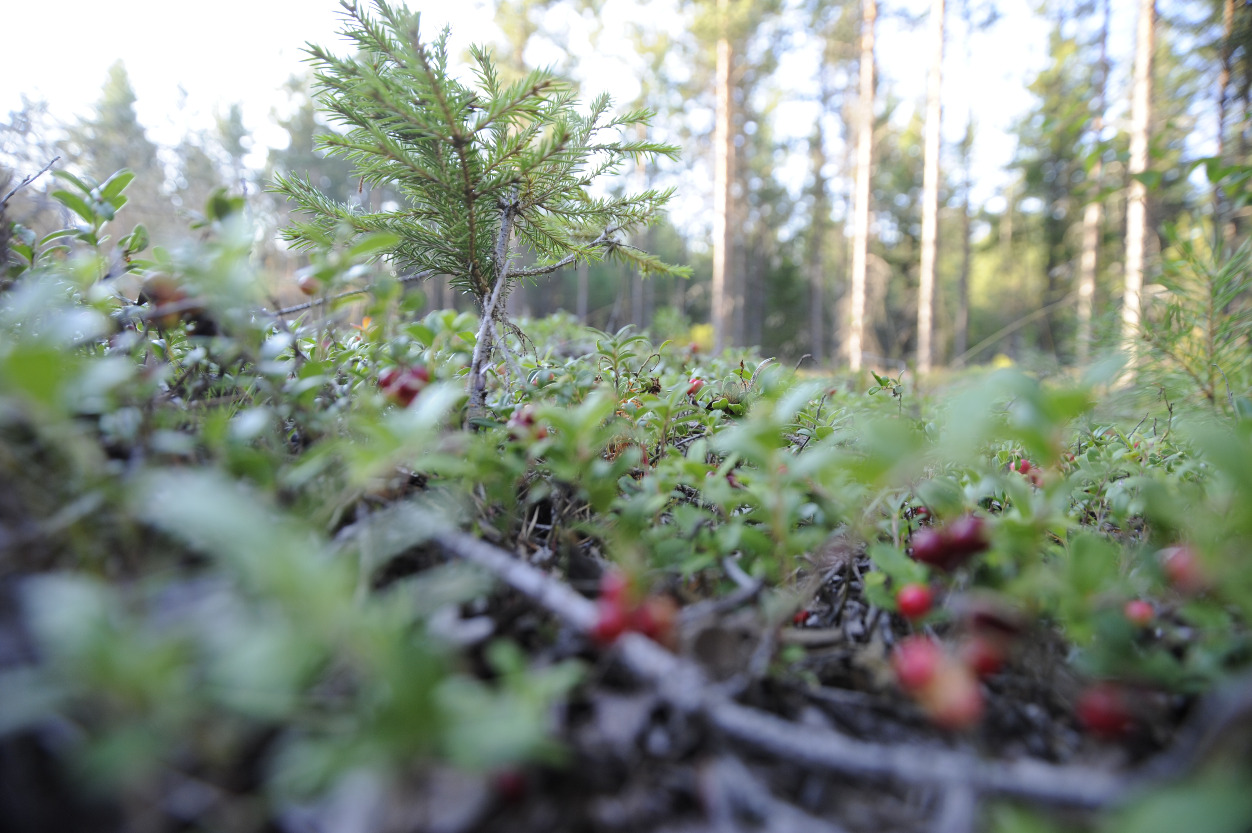 Forest and berries
